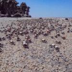 Fidler Crabs on Cumberland Island beach