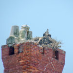 Osprey Nest in Dungeness Chimney Ruins