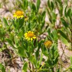 Sea Oxeye Daisy - Borrichia frutescens