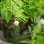 Button Bush - Suwannee River