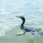 Cormorant Companion