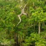 Devil Cypress Leaps into Suwannee River