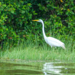 Egret among the Mangroves