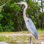 Friendly Great Blue Heron