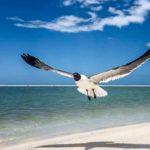 Laughing Gull Takes Flight