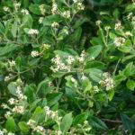 Mangrove Blossoms