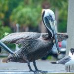 Pelican Prepped for Flight