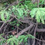 Swamp Locust - Gleditsia aquatica