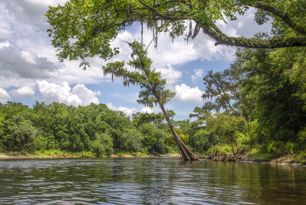 Leaning Bald Cypress