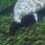 Manatee in the Silver River
