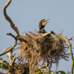 Nesting Cormorant on the Silver River
