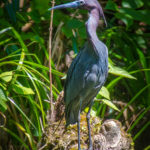 Tri-Colored Heron on the Silver River