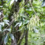 Ash Seed Pods - Gum Slough