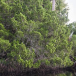Cedar Tree - Tomoka River