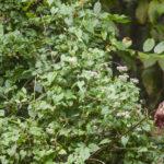 Climbing-Hemp-Vine-Mikania-scandens