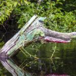 Gator Tree - Withlacoochee River
