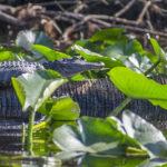 Gator Sunning on Bear Creek