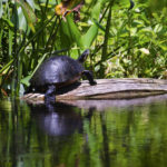 Gum Slough Cooter