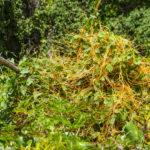 Love Vine - Cassytha filiformis