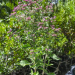 Salt Marsh Fleabane - Pulchea odorata Tomoka River