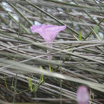 Salt Marsh Morning Glory - Ipomoea sagittata,