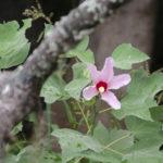 Scarlet Hibiscus Rose Mallow - Hibiscus grandiflorus