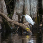 Snowy Egret on the Withlacoochee River
