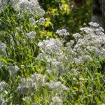White Swamp Milkweed - Asclepias perennis