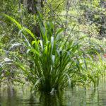 Wild Rice - Zizania aquatica