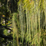 Bald Cypress Pollen Cones:Catkins - Bear Creek