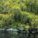 Bald Cypress with Catkins - Ocklawaha River