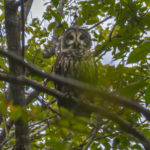 Barred Owl - Ocklawaha River