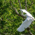 Egret on the Ocklawaha River