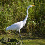 Great Egret - Hunter Springs