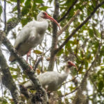 Ibis overhead on the Silver River