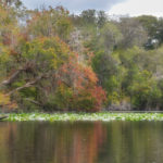 Leaning Maple - Ocklawaha River