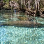 Manatee with Young Cow - Three Sisters Spring #2