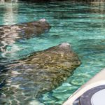 Manatess Swim with Kayak - Three Sisters Springs