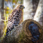 Red Shouldered Hawk - Bear Creek