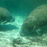 Sleeping Manatees - Crystal River