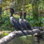 The Three Cormorants on the Silver River
