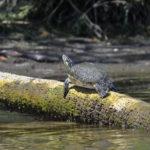 Turtle Sunning - Banana Island