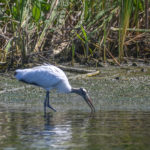 Wood Stork - Kings Bay