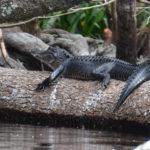 Young Alligator - Ocklawaha River