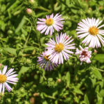 Asters - Haw Creek