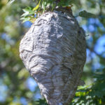 Bald Faced Hornet Nest - Haw Creek