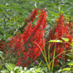 Cardinal Flower - Rainbow River