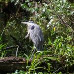 Great Blue Heron - Ichetucknee River