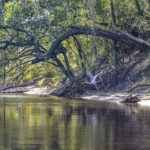 Heron on the Suwannee River