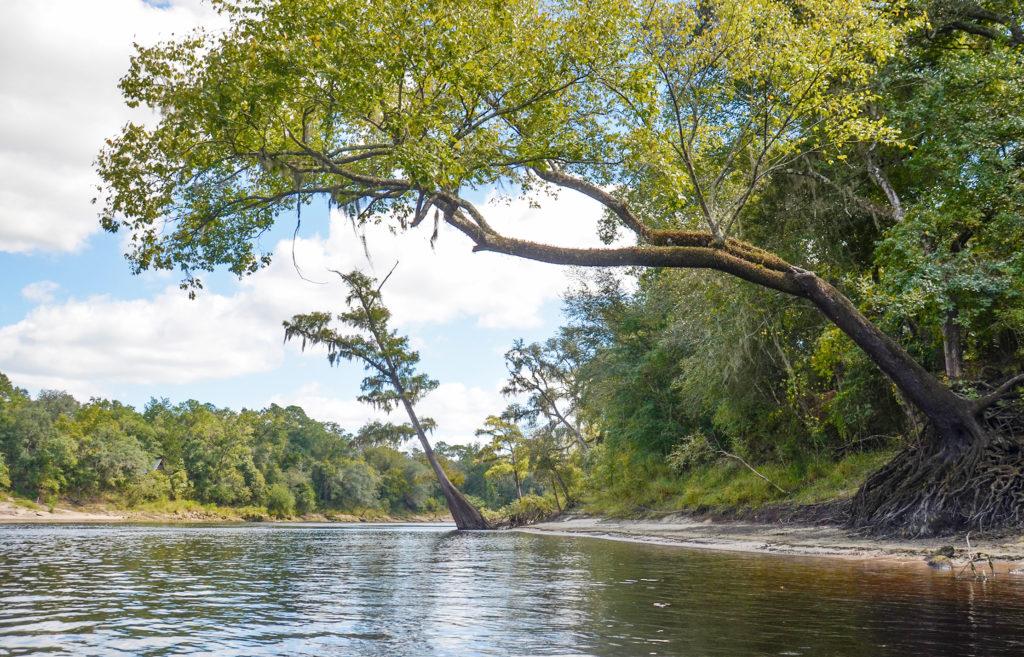 Leaning Cypress - Suwannee River
